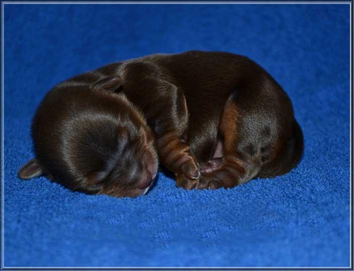 enzo 1 tag 2 | Hundezucht von Martina Dase ver-la-luz - Golddust und Biewer Yorkshire Terrier a la Pom Pon