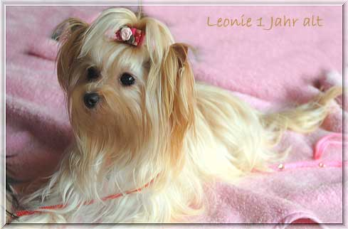 golden girl Leonie la perla 1 Jahr 2 | Hundezucht von Martina Dase ver-la-luz - Golddust und Biewer Yorkshire Terrier a la Pom Pon