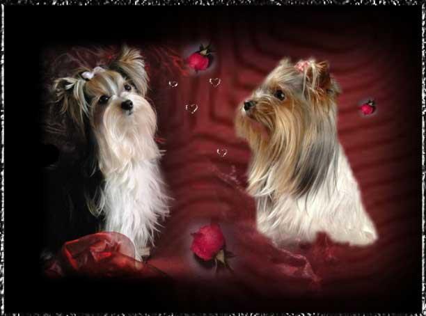 lucie anjo rot love   Hundezucht von Martina Dase ver-la-luz - Golddust und Biewer Yorkshire Terrier a la Pom Pon