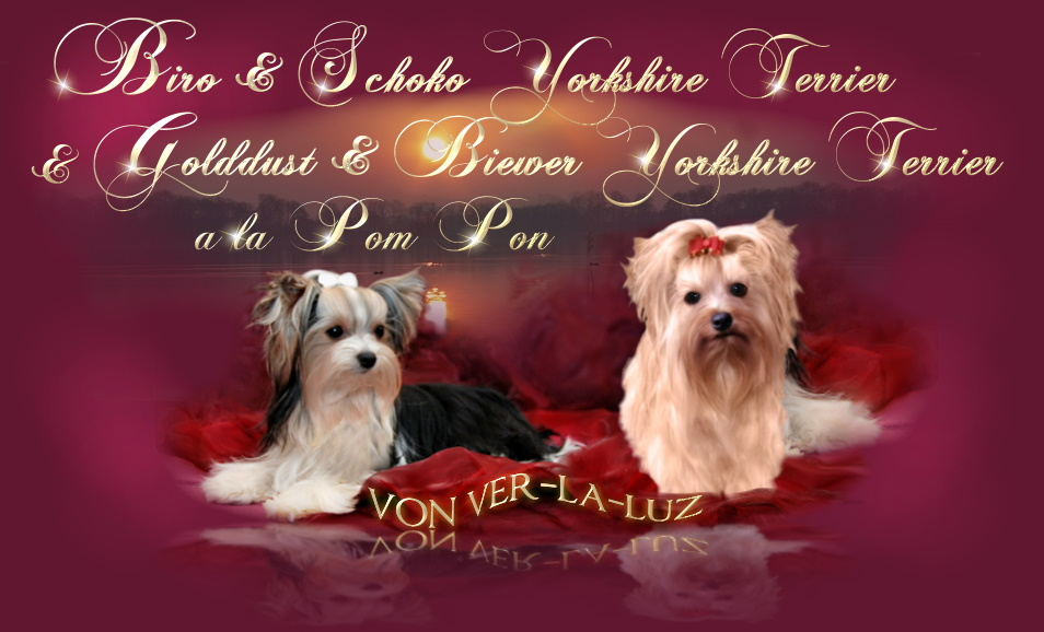 ve-ra-luz Yorkshire Terrier