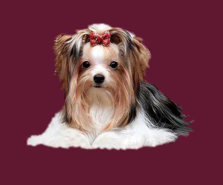 ver la luz - Janna Mia Biewer Yorkshire Terrier