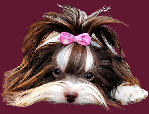 04 Nela nela yanela biro yorkshire huendin 1 jahr | Hundezucht von Martina Dase ver-la-luz - Golddust und Biewer Yorkshire Terrier a la Pom Pon