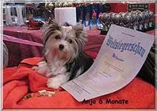 6 monate munster | Hundezucht von Martina Dase ver-la-luz - Golddust und Biewer Yorkshire Terrier a la Pom Pon