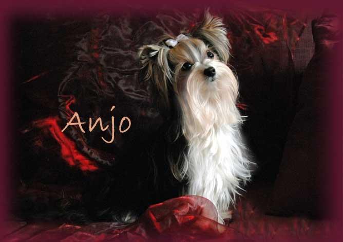 Anjo Januar 2012 | Hundezucht von Martina Dase ver-la-luz - Golddust und Biewer Yorkshire Terrier a la Pom Pon