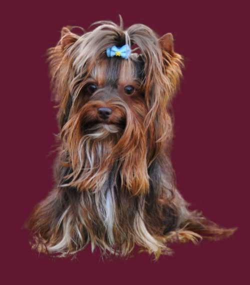 Lui 4 Jahre | Hundezucht von Martina Dase ver-la-luz - Golddust und Biewer Yorkshire Terrier a la Pom Pon