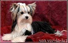 anjo 1 | Hundezucht von Martina Dase ver-la-luz - Golddust und Biewer Yorkshire Terrier a la Pom Pon