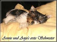 annie und anjos erste schwester 1 | Hundezucht von Martina Dase ver-la-luz - Golddust und Biewer Yorkshire Terrier a la Pom Pon