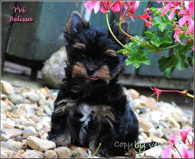 bambina yorkshire terrier maedchen yvi belisha 11 wochen 650 | Hundezucht von Martina Dase ver-la-luz - Golddust und Biewer Yorkshire Terrier a la Pom Pon