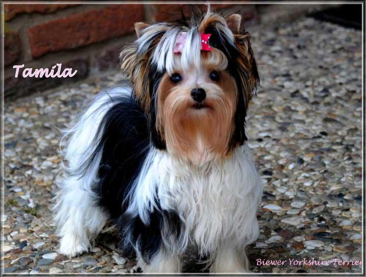 biewer yorkshire terrier huendin tamila von ver la luz 2 | Hundezucht von Martina Dase ver-la-luz - Golddust und Biewer Yorkshire Terrier a la Pom Pon