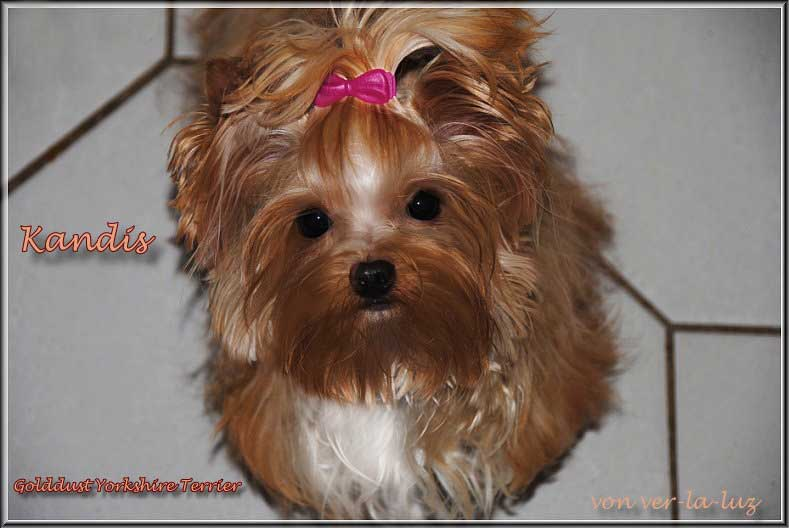 golddust yorkshire terrier ver la luz kandis | Hundezucht von Martina Dase ver-la-luz - Golddust und Biewer Yorkshire Terrier a la Pom Pon