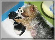 jule mit baby | Hundezucht von Martina Dase ver-la-luz - Golddust und Biewer Yorkshire Terrier a la Pom Pon