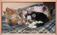 jule mit ihrem ersten sohn | Hundezucht von Martina Dase ver-la-luz - Golddust und Biewer Yorkshire Terrier a la Pom Pon