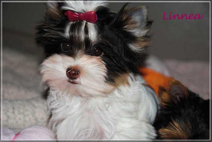 Nela L Biro Yorkshire Terrier Maedchen Mini Linnea 14 wochen 1 705x472 1 | Hundezucht von Martina Dase ver-la-luz - Golddust und Biewer Yorkshire Terrier a la Pom Pon